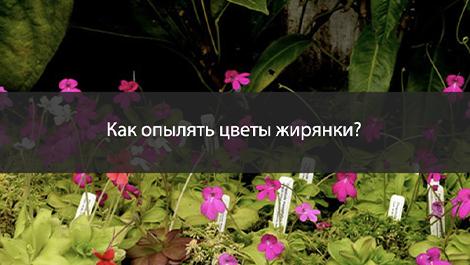 Как опылять цветы жирянки (Pinguicula)?