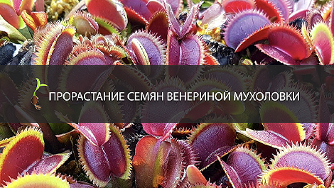 Как вырастить мухоловку из семян