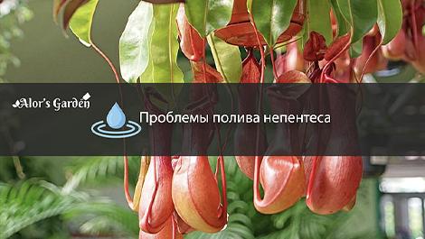 Переувлажнение непентеса: Отеки