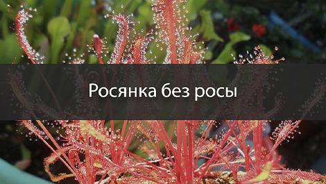 Почему на листьях росянки нет росы?