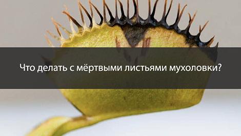 Как и когда обрезать черные листья/ловушки мухоловки?