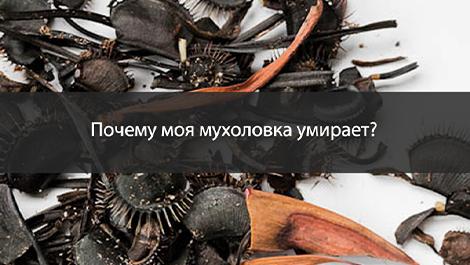 Почему моя мухоловка умирает и можно ли ее спасти?