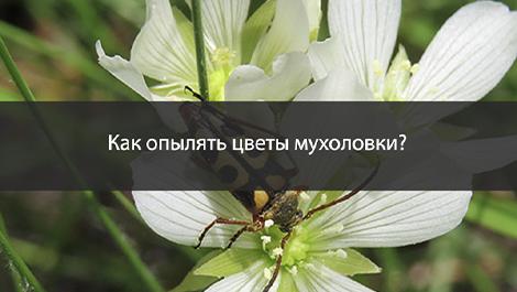 Как правильно опылять цветы мухоловки