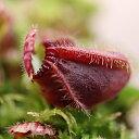 cephalotus-typical-form-alorsgarden